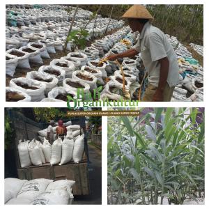 Pupuk Organik Guano Bali Organikultur BUDIDAYA JAHE